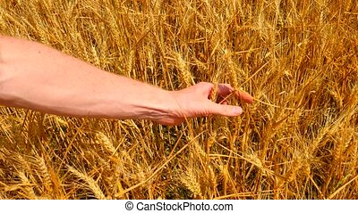 Agronomist hands examines crop of rye. Farmer checking if...
