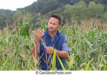 agronomist, koren, analyseren, granen, akker
