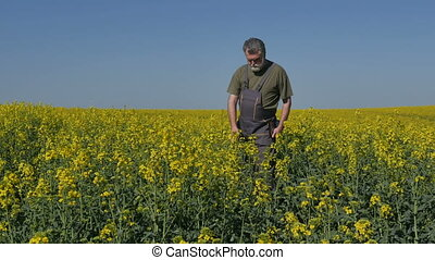 Agronomist or farmer inspecting canola field - Agronomist or...
