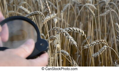 agronomist with handglass and ears - agronomist with...
