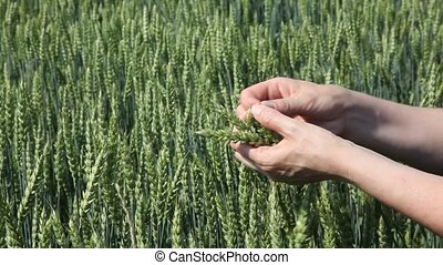 Agronomy - Agricultural expert inspecting quality of wheat
