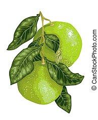 agrume, vettore, albero frutta, ramo, pomelo