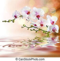 agua, blanco, gota, orquídeas