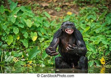 agua, cacerola, pigmeo, chimpancé, distancia, (, chimpanzee., llamado, cierre, placer, cortocircuito, paniscus), bonobo, smiles., arriba.