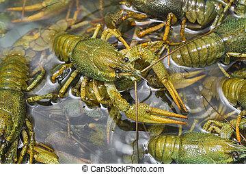 agua, cangrejos de río, vivo, arrastre