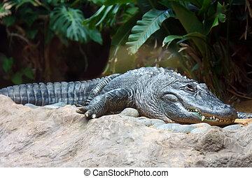 agua, cocodrilo, descansar