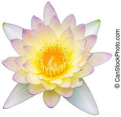 agua, flor de loto, lirio, o