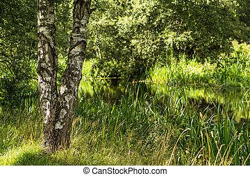 agua, hierba verde, árbol, abedul
