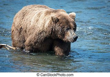agua, marrón, grande, oso de alaska