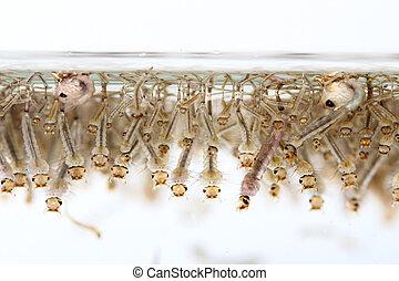 agua, mosquito's, larva