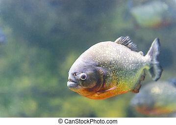agua, peligroso, pez, Primer plano, piraña