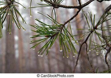 agua, pine-needle, gotas