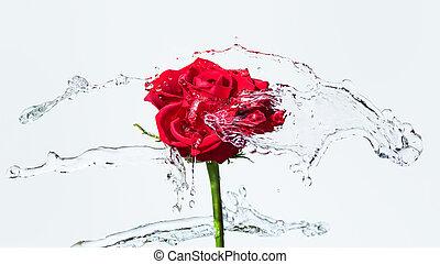 agua, rosa, salpicadura, rojo