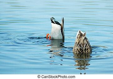 agua, su, debajo, cabezas, patos