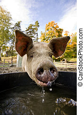 agua, tazón, cerdo