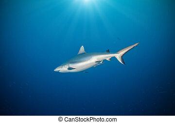 agua, tiburón, Flotar,  Whitetip, profundo