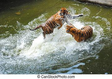 agua, tigres, juegue luchando