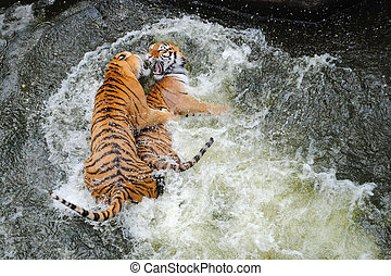 agua, tigres, lucha, juego