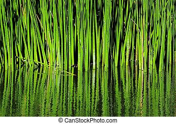 agua, verde, reflexión, cañas