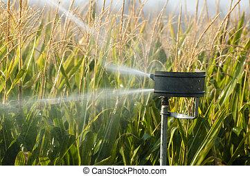 aguando, a, milho, plantação