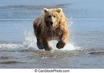 aguas, oso pardo, costero, pesca, oso
