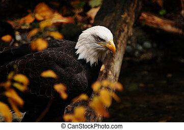 aguila norteamericano, en, otoño