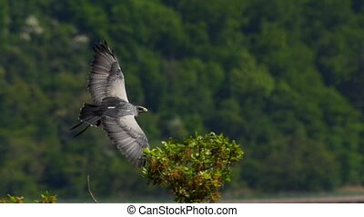 aguja - flying bussard