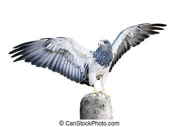 Aguja Hawk Family Isolated