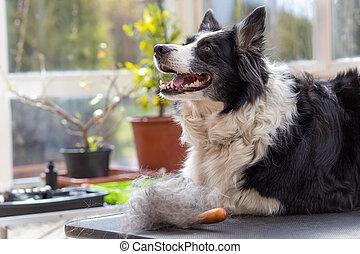 ahead., tisch, schauen, ansicht, hund pflegend, liegen, ...