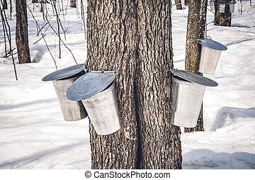 ahorn, bäume, mit, eimer, sammeln, saft, in, fruehjahr