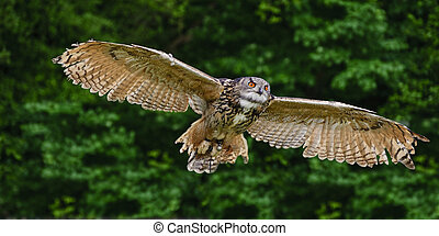 aigle, abrutissant, européen, vol, hibou