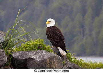 aigle, américain, chauve