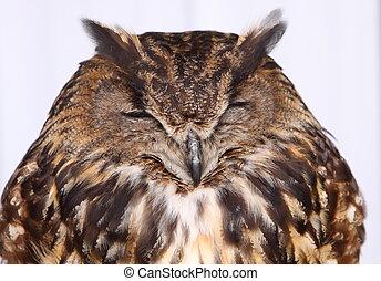 aigle, (bubo, européen, bubo), hibou