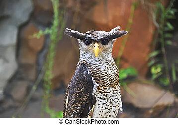 aigle, (bubo, hibou, sumatranus)