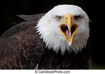aigle, chauve