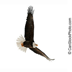aigle, chauve, leucocephalus), (haliaeetus