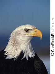 aigle, chauve, portrait