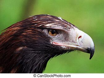 aigle, closeup, wedge-tailed