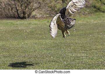 aigle, fermé, prendre, manoeuvrer, hibou