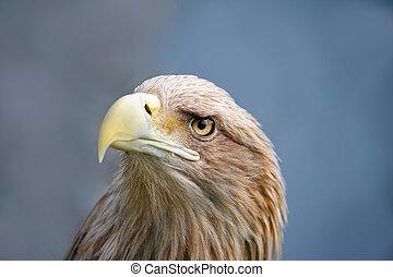 aigle, figure