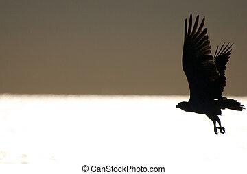 aigle, haliaeetus, liberté, -, ailes, mer, albicilla