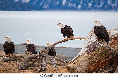 aigles, chauve, américain