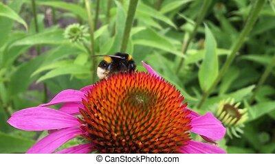 ailé, abeille