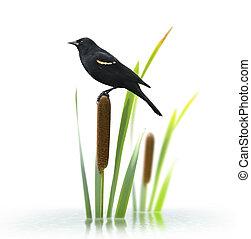 ailé, oiseau noir, rouges