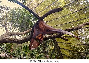 ailes, pteropus, branch., grand, pelucheux, étire, pendre, ...