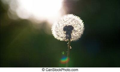 Air Blows on a Dandelion