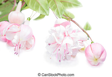 air fuchsia flower with bud isolated on white background, Margar
