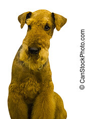 Airedale. Airedale Terrier dog. Portrait of purebred dog...