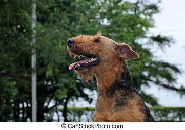 Airedale Close-up in the park