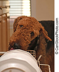 Airedale terrier dog cleaning dishes with his tongue.